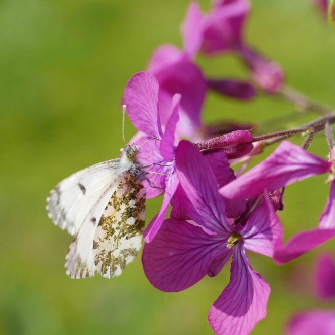Schmetterling sitzt auf Blume