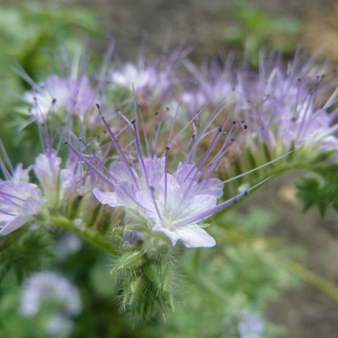 Phacelia tenacetifolia